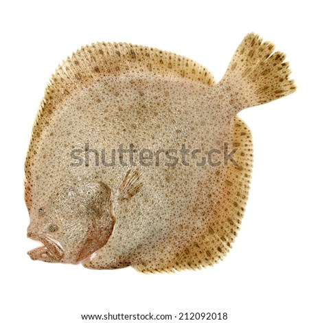 Psetta maxima (Turbot Fish) isolated on white background