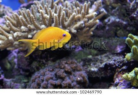pseudanthias orange tropical marine fish lyretail coralfish, the lyretail anthias or the scalefin anthia, goldfish, sea goldie