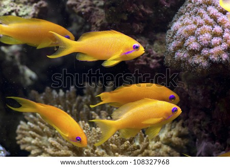 pseudanthias squamipinnis Lyre Tail Anthias group