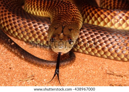 Pseudechis australis, commonly known as the king brown- or mulga snake, or Pilbara cobra, is a species of venomous snake found in Australia. - stock photo