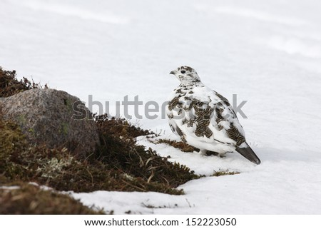 Ptarmigan, Lagopus mutus, female, Scotland, spring          - stock photo