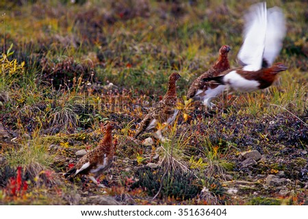 Ptarmigan take off from the ground - stock photo