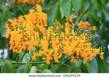 Pterocarpus indicus - stock photo