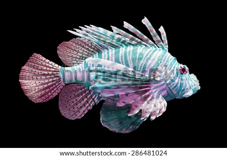 Pterois volitans, Lionfish - Isolated on black - Blue and red - stock photo