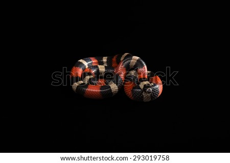 Pueblan milk snake or Campbell's milk snake, Lampropeltis triangulum campbelli, isolated on black background - stock photo
