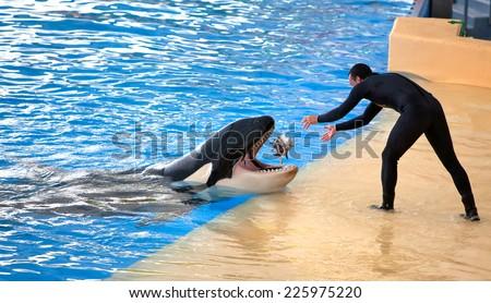 PUERTO DE LA CRUZ, TENERIFE - JULY 12: New Orca Ocean exhibit has helped the Loro Parque become Tenerife's second most popular attraction on July 12, 2014 in Puerto De La Cruz, Tenerife - stock photo