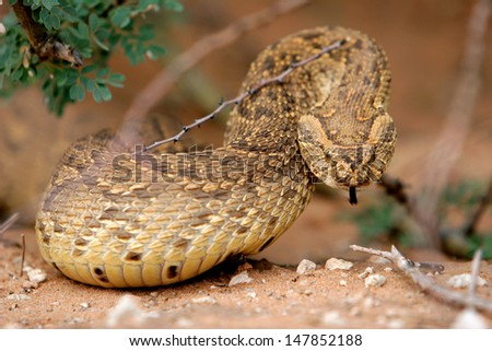 Puff adder ready to strike - stock photo
