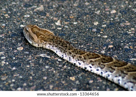 Puff Adder slithers across the road in the Kruger National Park (South Africa) - stock photo