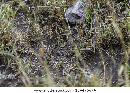 Puff adder snake , bitis arietans, lying coiled in grass, typical behavior of this snake which strikes its prey from ambush and is highly venomous causing fatalities to humans - stock photo