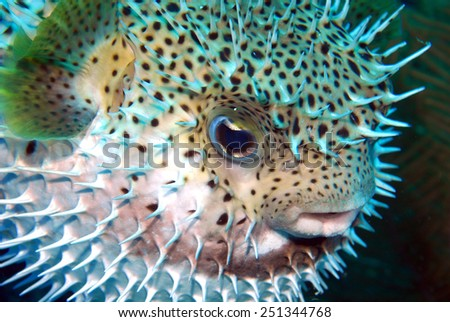 Puffed Porcupine fish - stock photo