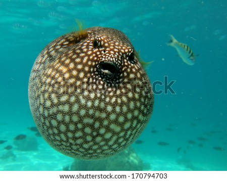 Black-spotted Puffer F...