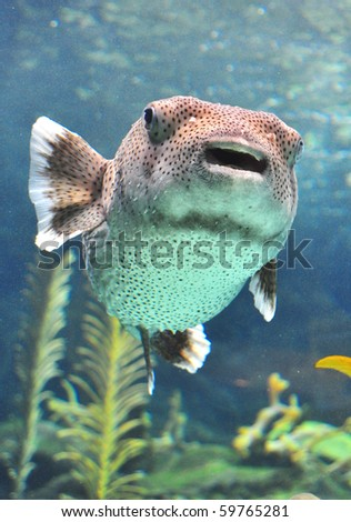 Puffer fish swimming in a water tank. - stock photo