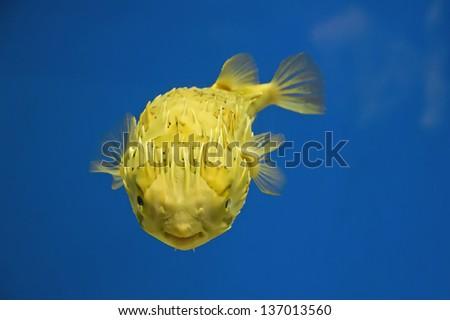 Puffer Fish (Tetraodontidae) - stock photo