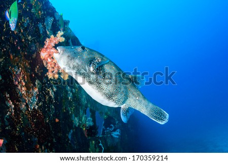 Puffer fishs swimming next to a tropical water shipwreck - stock photo
