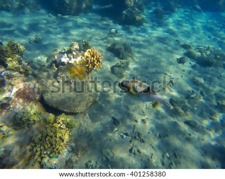Pufferfish and coral reef, fugu fish, dangerous fish with poison, sea world animal, underwater animal, sea bottom with corals and fishes, puffer fish closeup, yellow seaweeds and coral fish fugu - stock photo
