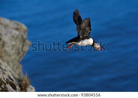 puffin flying (fratercula arctica) - stock photo