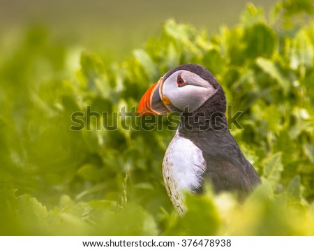 Puffin in green vegetation near nesting burrow in breeding colony