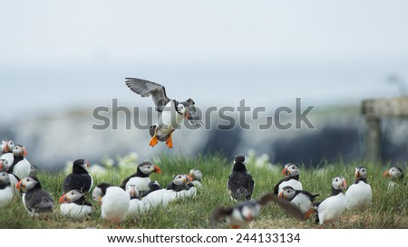 Puffin tries too land - stock photo