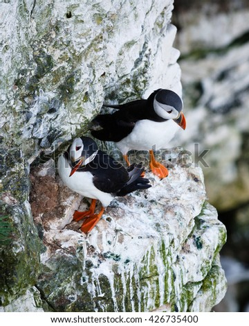 Puffins are any of three small species of alcids in the bird genus Fratercula with a brightly coloured beak during the breeding season.  - stock photo