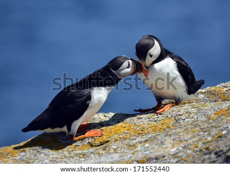 puffins eskimo kissing - stock photo