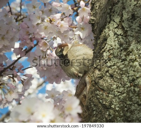 Puffy Sparrow in the Cherry Blossoms - stock photo