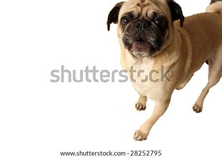 Pug barking and isolated on white background. - stock photo