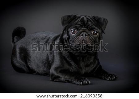 pug black dog isolated on a dark background - stock photo