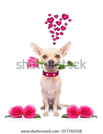 pug chihuahua dog, staring at you   , with a valentines rose in mouth,  isolated on white background - stock photo