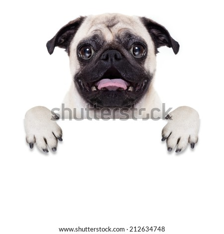 pug dog behind blank white banner or placard with open mouth , surprised - stock photo