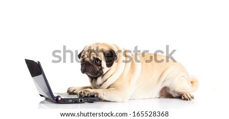 pug dog computer isolated on white background - stock photo