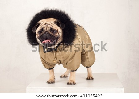 Pug dog in winter costume isolated on white background