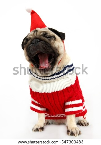 Pug dog isolated in the studio on white background, isolated. Happy New Year