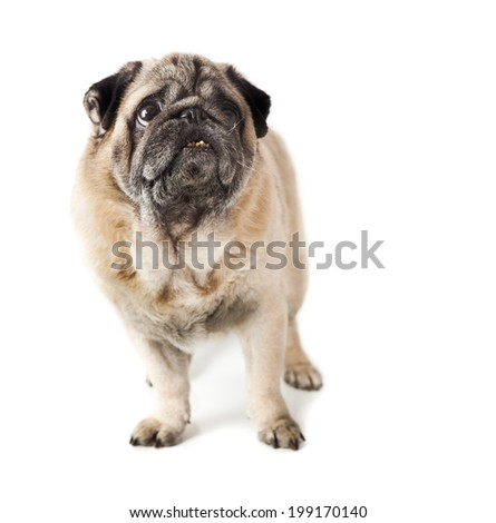 Pug dog isolated in white