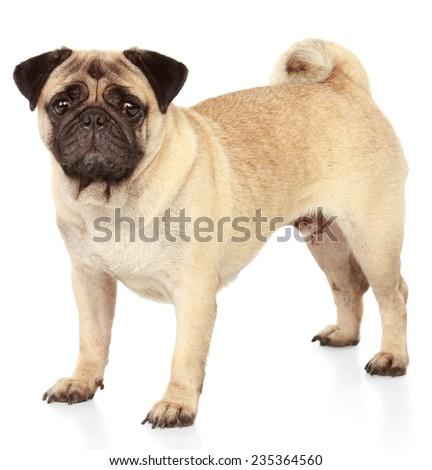 Pug dog isolated on white background - stock photo