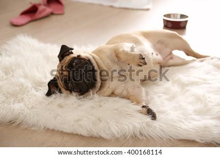Pug dog lying on carpet - stock photo