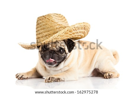 pug dog mexican hat isolated on white background - stock photo