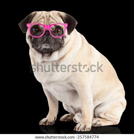 pug dog on a black  background - stock photo
