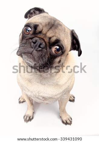 Pug dog on a white background - stock photo
