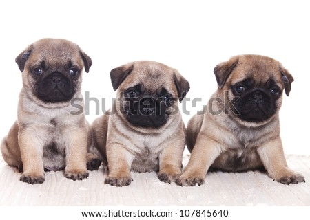 Pug dog on white background - stock photo