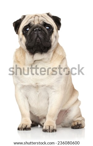 Pug dog. Portrait on a white background - stock photo