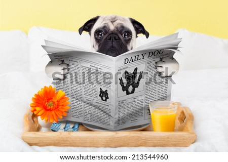 pug dog reading the newspaper and having breakfast in bed - stock photo