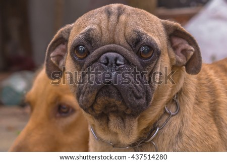 Pug dog's face looking in the camera - stock photo
