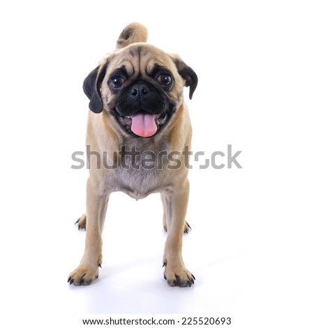 Pug dog Standing in front of white background, front view, high key, square image