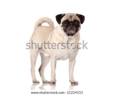 Pug dog standing on reflective surface on white background