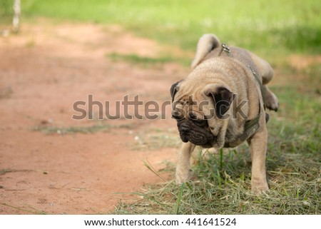 Pug dog standing to scratch on grass field