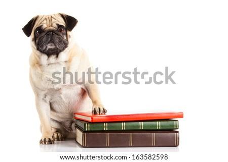 pug dog  und books isolated on white background - stock photo
