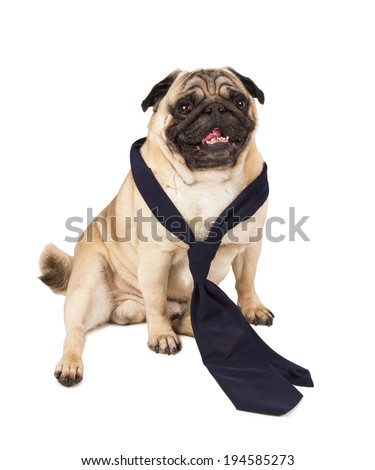 Pug dog wearing a tie