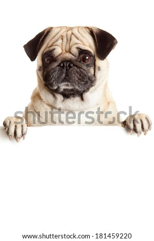 Pug Dog with blank billboard. Dog above banner or sign. Pug dog portrait over white background - stock photo