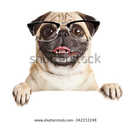 Pug Dog with blank billboard. Dog above banner or sign. Pug dog portrait over white background - stock photo