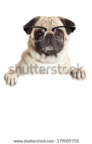 Pug Dog  with blank billboard. Dog above banner or sign. Pug dog with  glasses  over white background - stock photo